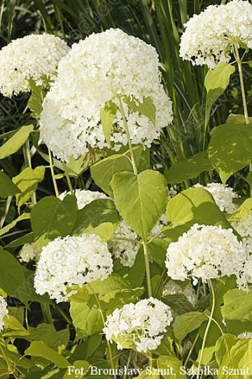 Hydrangea arborescens 'Bounty' (Hortensja krzewiasta) - C3