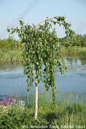 Betula utilis 'Long Trunk' (Brzoza pożyteczna) - C5 PA