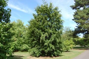 Carpinus turczaninowii (Grab Turczaninowa) - C5