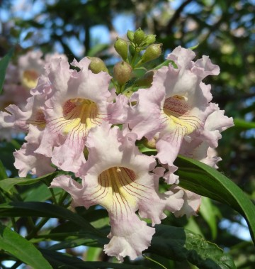 Chitalpa tashkentensis SUMMER BELLS 'Minsum' (Chitalpa taszkiencka) - C9