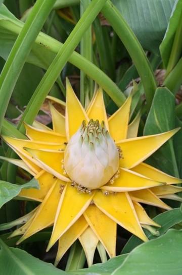 Musella lasiocarpa (Bananek chiński) - C12