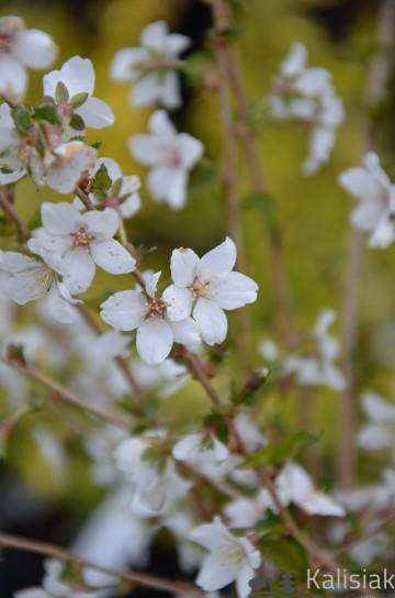 Prunus incisa 'Arboretum Kórnik' (Wiśnia wczesna) - C5