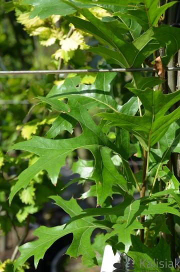 Quercus palustris 'Green Pillar' (Dąb błotny) - C5