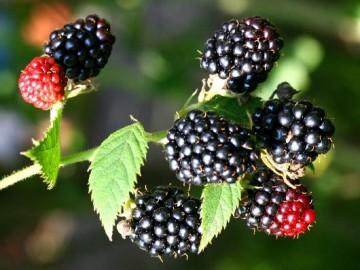 Rubus fruticosus 'Black Satin' (Jeżyna bezkolcowa) - C5