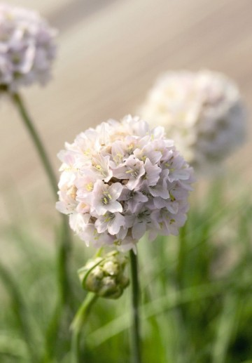 Armeria maritima 'Morning Star White' (Zawciąg)  - C2