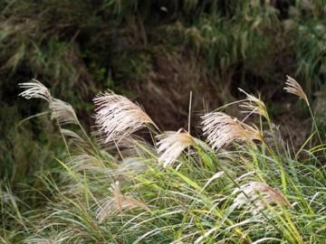 Miscanthus sinensis 'New Hybrid' (Miskant chiński) - C5