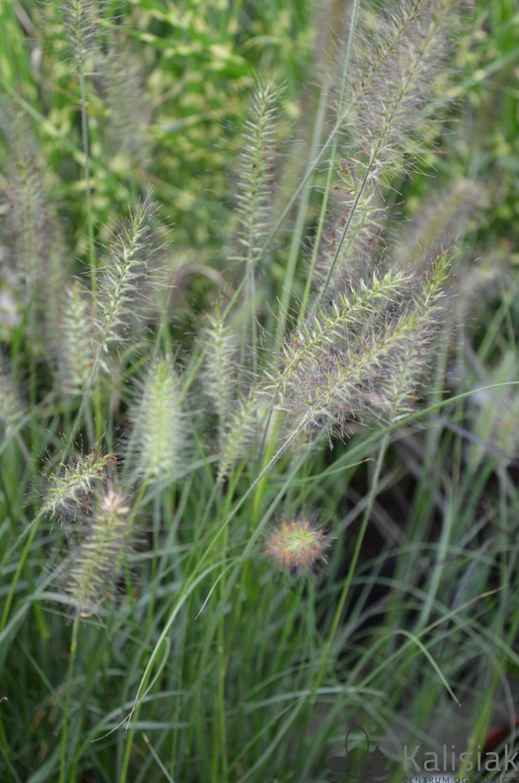 Pennisetum alopecuroides 'Hameln' (Rozplenica japońska) - C2