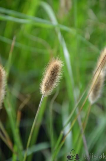 Pennisetum alopecuroides 'Magic' (Rozplenica japońska) - C2