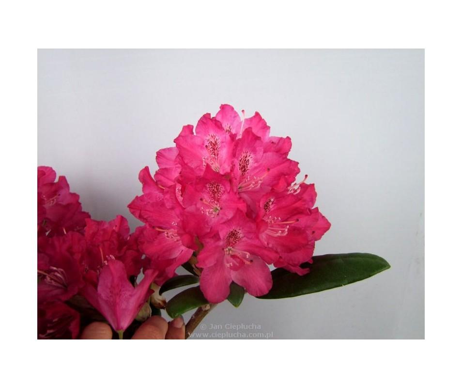 Rhododendron ROYAL CRIMSON 'Zygmunt III Waza'