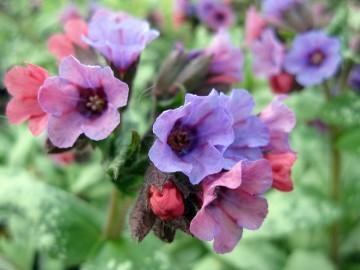 Pulmonaria 'Silver Bouquet' (Miodunka) - C2