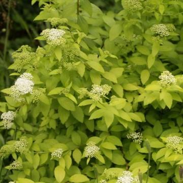 Spiraea japonica 'White Gold' (Tawuła japońska) - C2