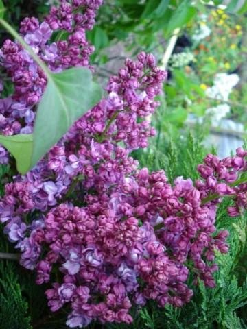 Syringa vulgaris 'Prince Wolkonsky' (Lilak pospolity) - C5