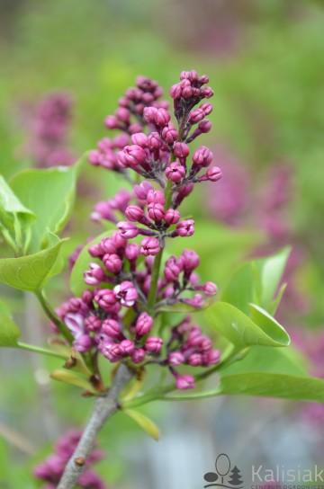 Syringa vulgaris 'Sensation' (Lilak pospolity) - C2