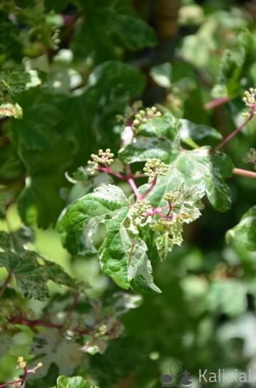 Ampelopsis glandulosa 'Elegans' (Winnik zmienny) - C2