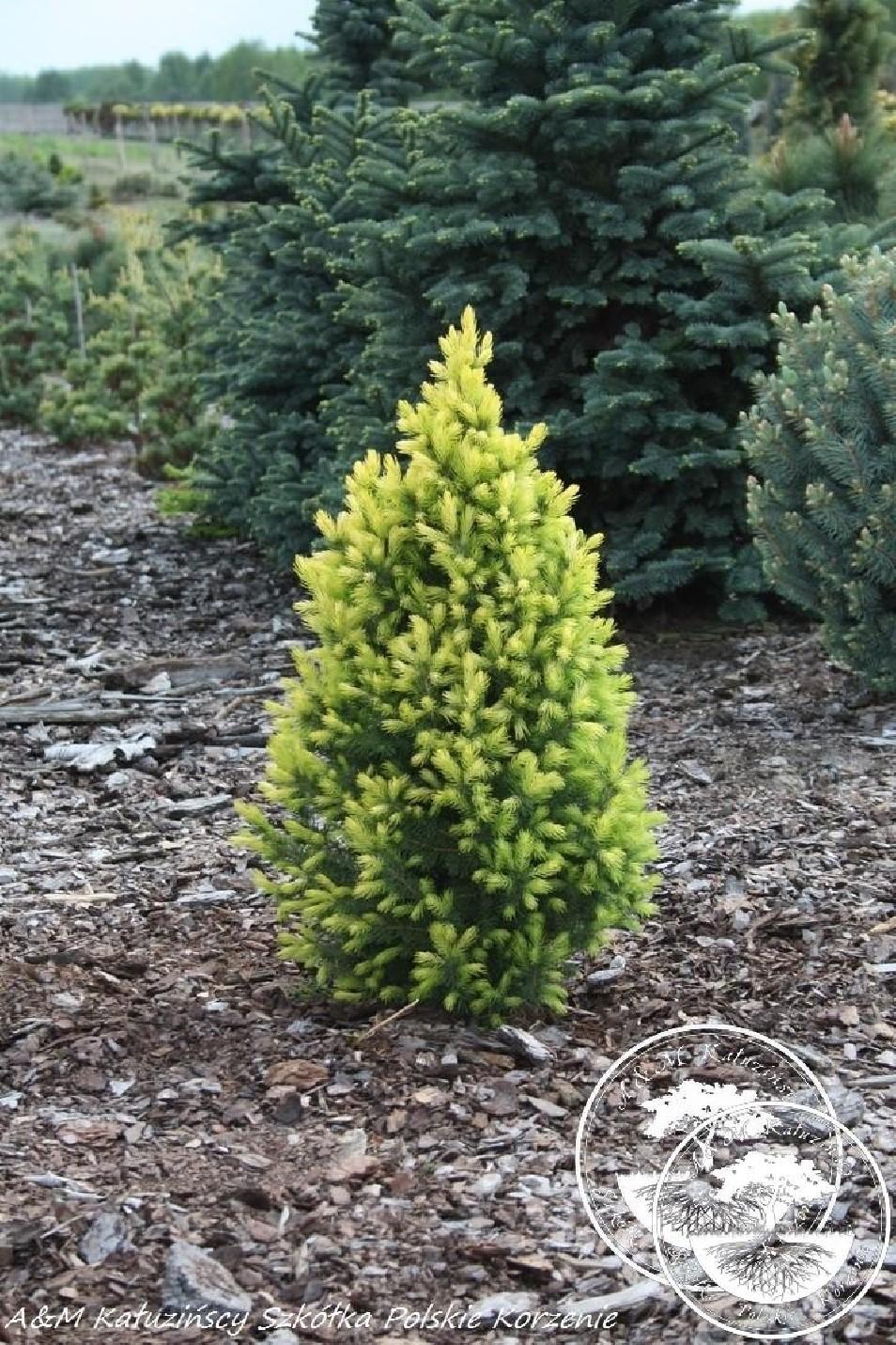 Picea glauca 'Duble Gold'