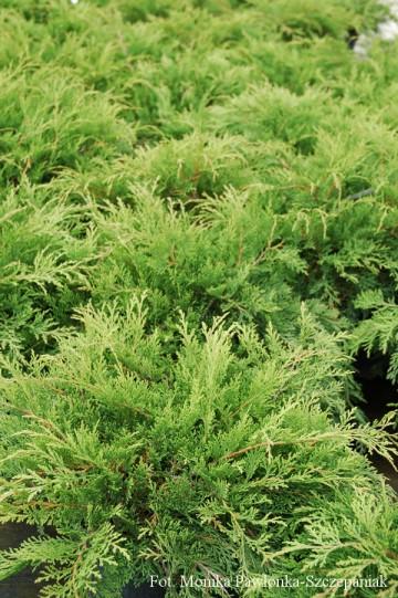 Microbiota decussata (Mikrobiota syberyjska) - C2