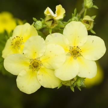 Potentilla fruticosa 'Primrose Beauty' (Pięciornik krzewiasty) - C2