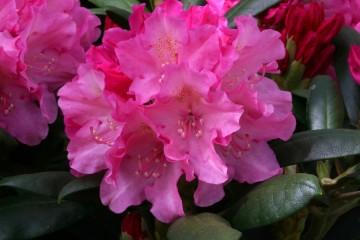 Rhododendron 'Polaris' (Różanecznik) - C4