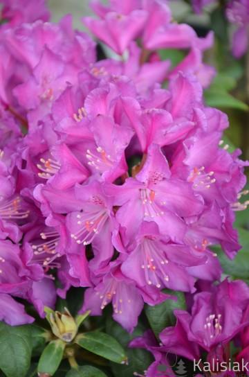Rhododendron 'Bolesław Chrobry' (Różanecznik) - C4