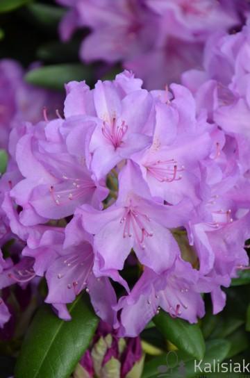Rhododendron 'Catawbiense Grandiflorum' (Różanecznik) - C7.5