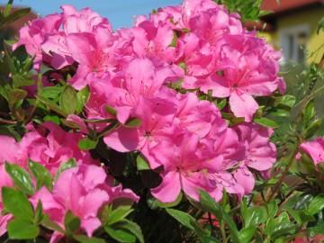 Rhododendron japanese azalea 'Rohozec' (Azalia japońska) - C2
