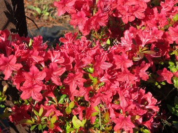 Rhododendron japanese azalea 'Veltrusy' (Azalia japońska) - C2