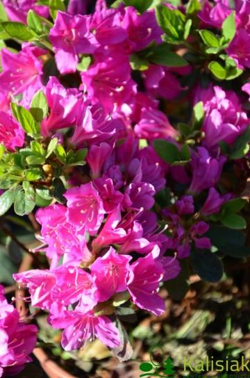 Rhododendron japanese azalea 'Purpuratum' (Azalia japońska) - C4