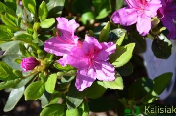 Rhododendron japanese azalea 'Konigstein' (Azalia japońska) - C4