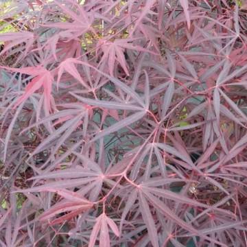 Acer palmatum 'Enkan' (Klon palmowy) - C5 bonsai