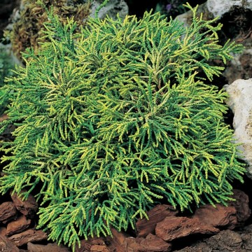 Chamaecyparis obtusa 'Tsatsumi Gold' (Cyprysik tępołuskowy) - C5