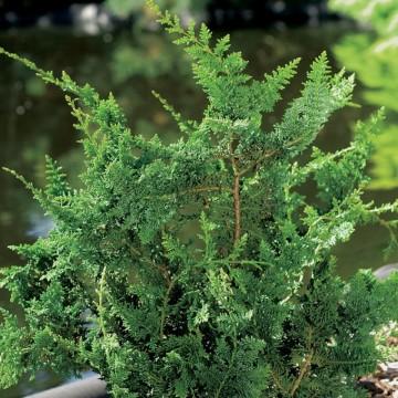 Chamaecyparis obtusa 'Teddy Bear' (Cyprysik tępołuskowy) - C5