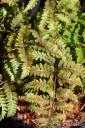 Athyrium nipponicum 'Metalicum' (Wietlica japońska) - C2