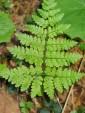 Dryopteris dilatata (Nerecznica szerokolistna) - C3