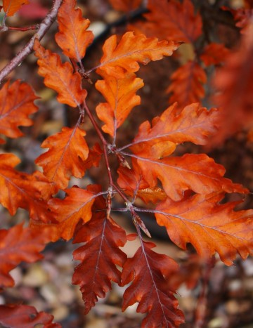 Fagus sylvatica 'Rohan Weeping' (Buk pospolity) - C5 bonsai
