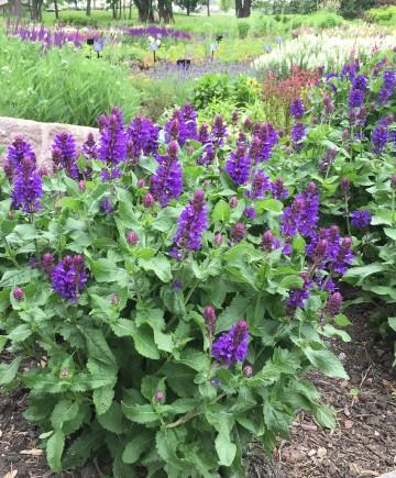 Salvia nemorosa 'Blue Marvel' (Szałwia omszona) - P11