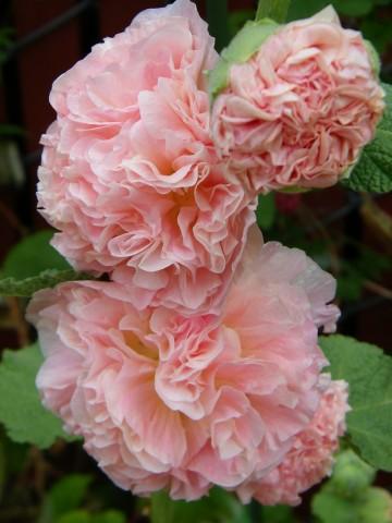 Alcea rosea 'Double Apricote' (Malwa) - P11