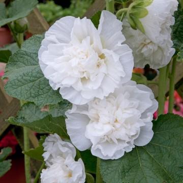 Alcea rosea 'Double White' (Malwa) - P11