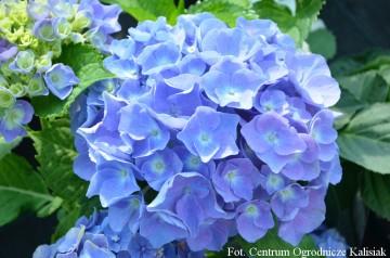 Hydrangea macrophylla 'Teller Blue' (Hortensja ogrodowa) - C2