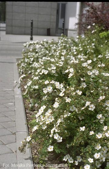 Potentilla fruticosa 'Abbotswood' (Pięciornik krzewiasty) - P15