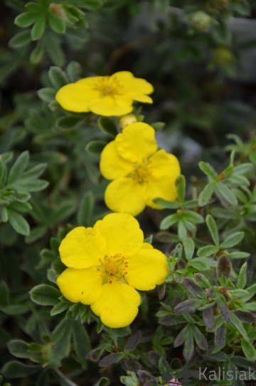 Potentilla fruticosa 'Goldstar' (Pięciornik krzewiasty) - C1,5