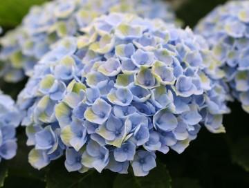 Hydrangea macrophylla Four Seasons 'Revolution Blue' (Hortensja ogrodowa) - C5