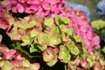 Hydrangea macrophylla Four Seasons 'Green Fire' (Hortensja ogrodowa)  - C5