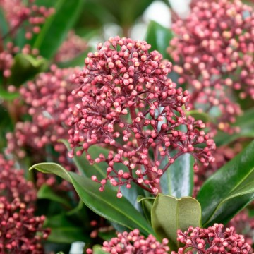 Skimmia japonica 'Rubesta Giant Pink' (Skimia japońska) - P23