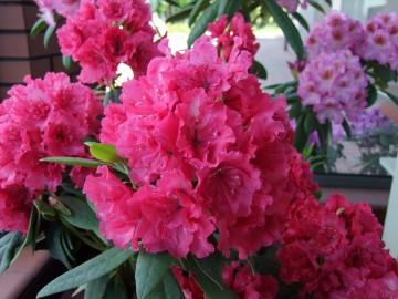 Rhododendron 'Double Kiss' (Różanecznik) - C5