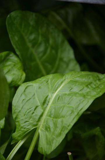 Rumex acetosa (Szczaw zwyczajny) - C1.5