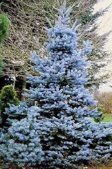 Picea pungens 'Glauca Misty Blue'