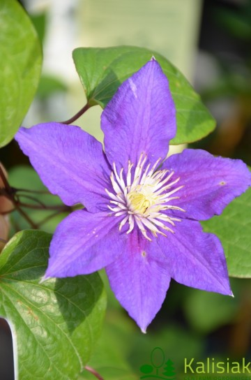 Clematis 'Beauty of Worcester' (Powojnik)  - C2