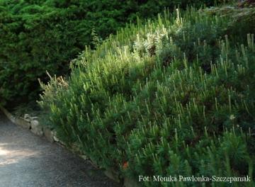Pinus mugo (Sosna kosodrzewina) - C2