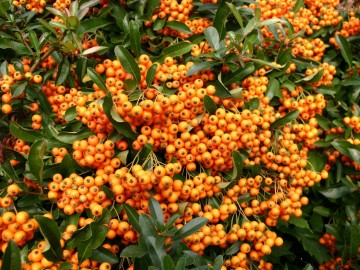 Pyracantha 'Orange Charmer' (Ognik) - C2