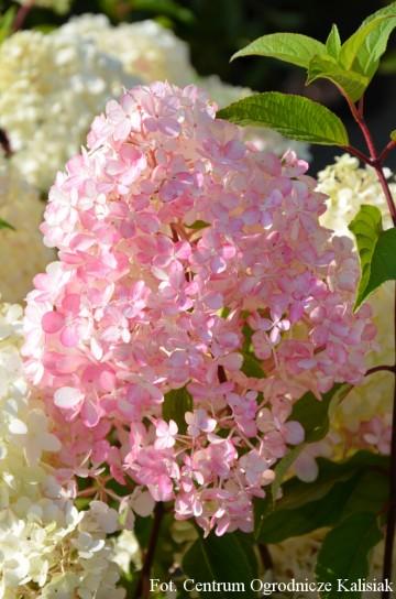 Hydrangea paniculata DIAMANTINO 'Ren101' (Hortensja bukietowa) - C4
